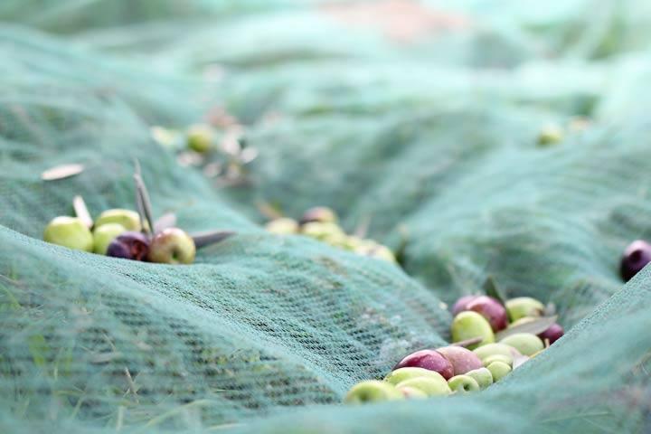 Agricola-oliva-pic4.jpg