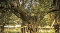 gli-alberi-monumentali-dei-nebrodi.jpg