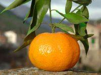Mandarino tardivo di Ciaculli.jpg