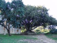 FicusCastellodonnafugata1-helios.JPG