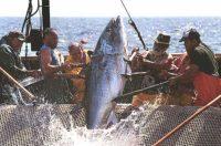 Pesca del Tonno a Favignana3.jpg
