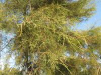 Tamarix gallica L  - Tamaricaceae Tamerice comune.jpg