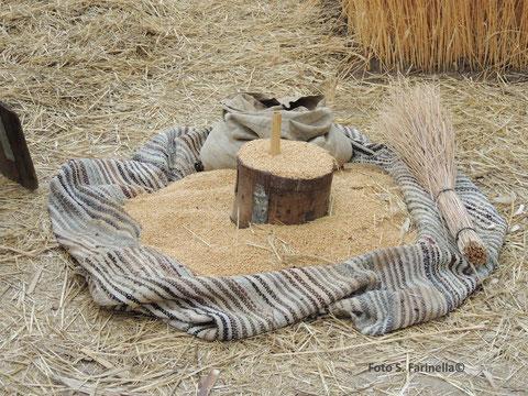 durum-wheat-furmintu