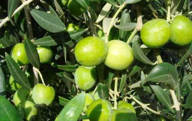 oliva-nebba