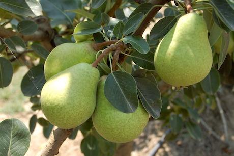 pears-spinelli-pira-spineddi