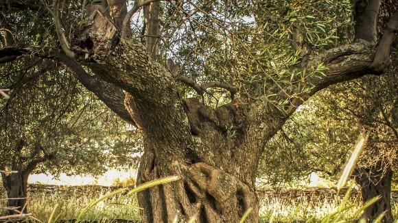 gli-alberi-monumentali-dei-nebrodi